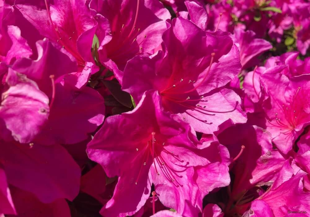 ピンク色のサツキツツジの花