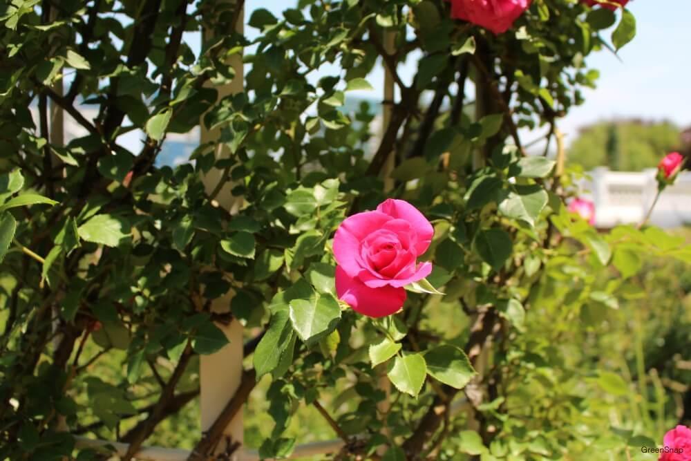 つるバラ うらら ピンク色 花