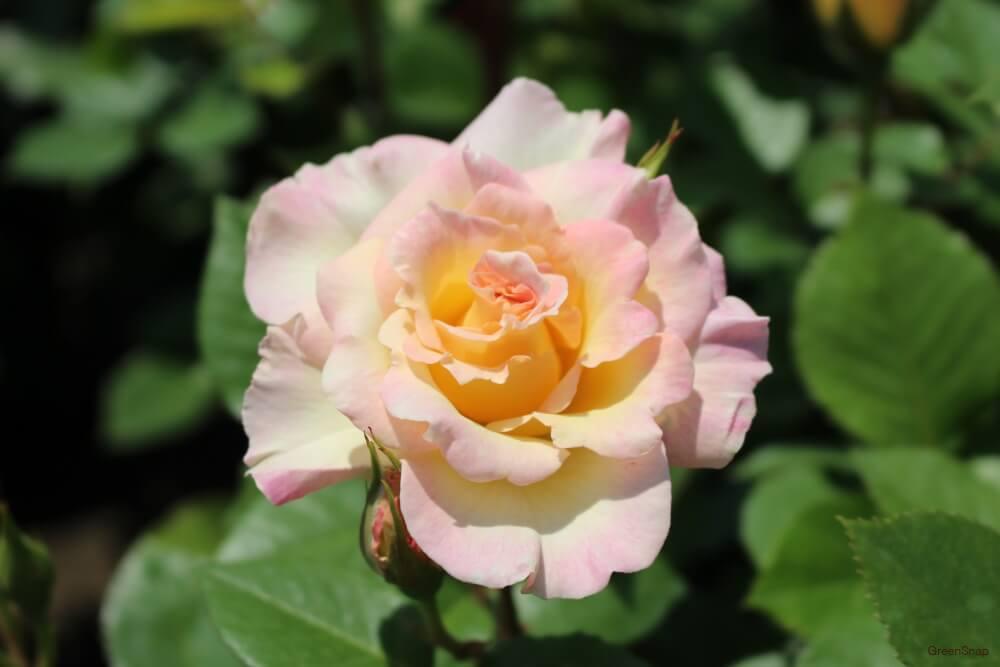 バラ シトロナード ピンク色 花 地植え