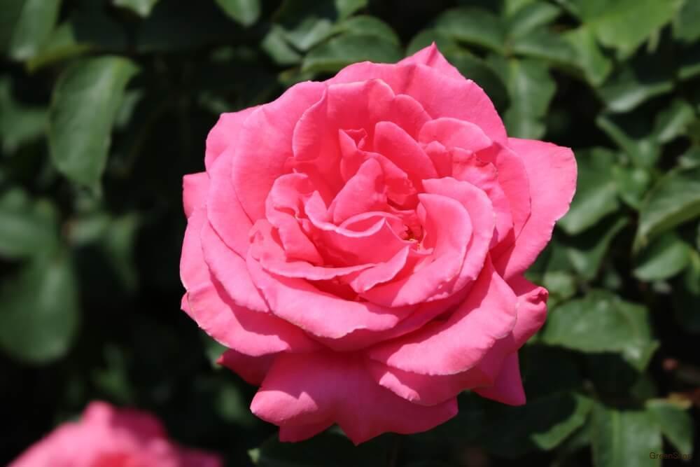 バラ 芳純 ピンク色