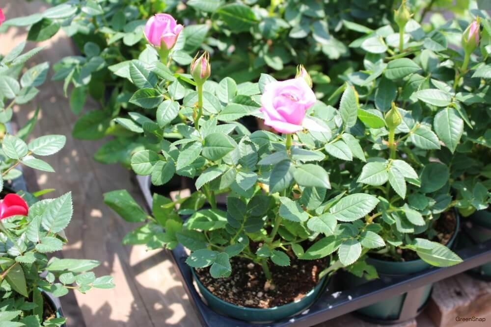 ピンク ミニバラ 苗 花