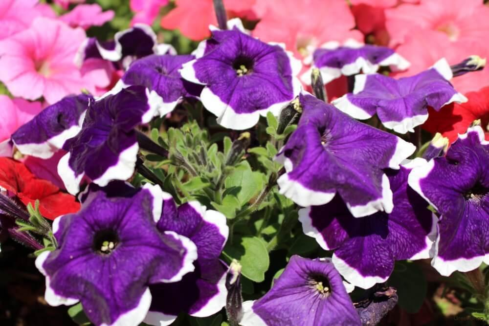ペチュニア 紫 白