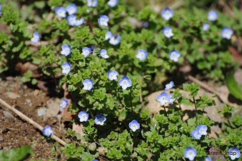 オオイヌノフグリ 青い花 いっぱい