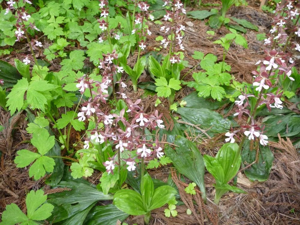 エビネ(海老根)の花言葉 花の種類や季節、開花時期は? - HORTI ...