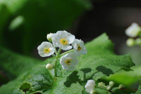 サンカヨウ 三荷葉 白い花