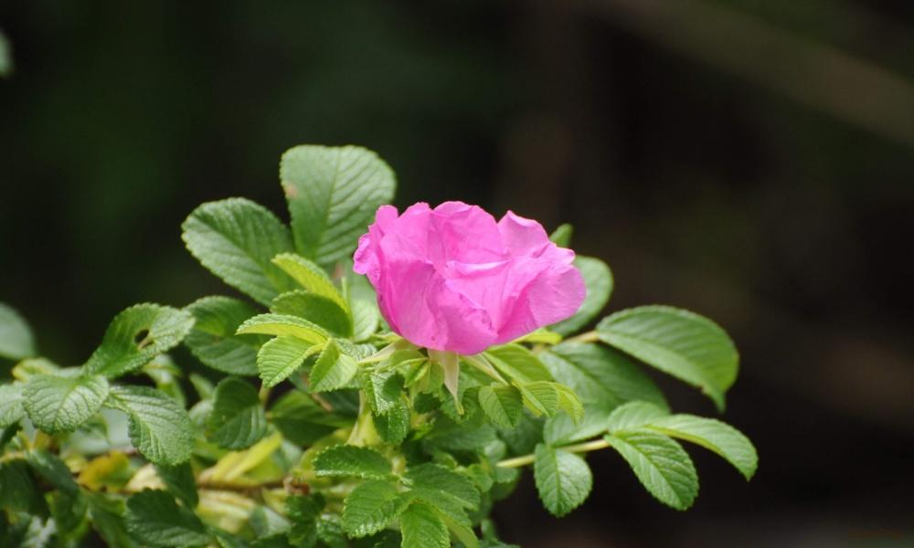 ハマナス 浜茄子 ピンク