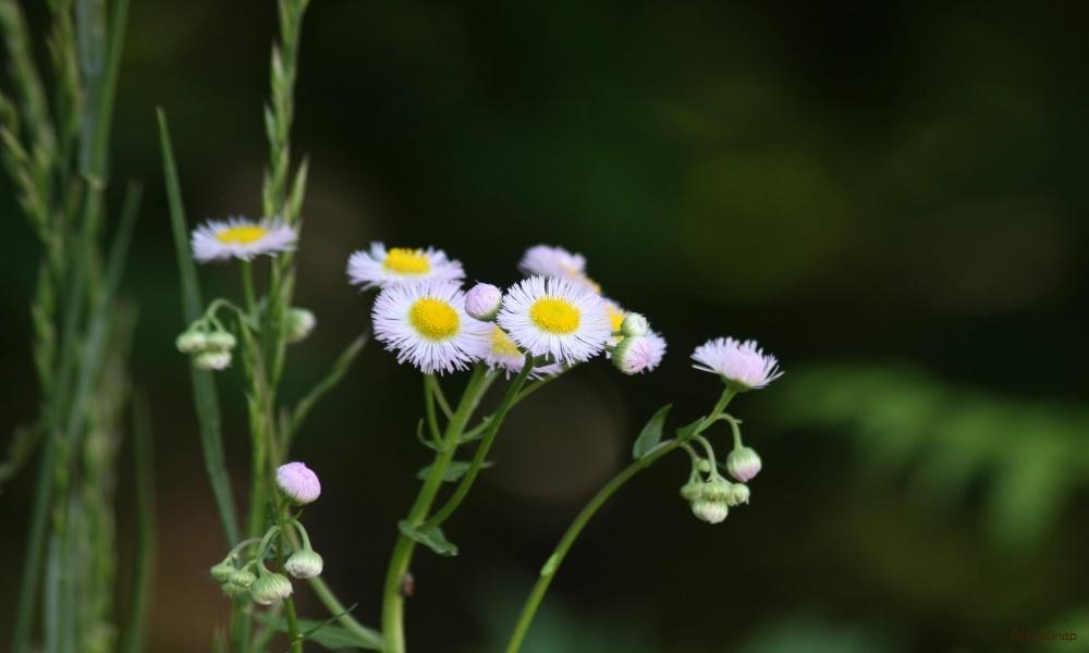 ハルジオン 花