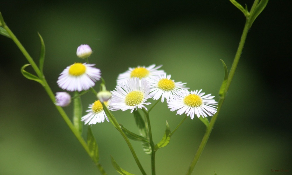 ヒメジョオン 花