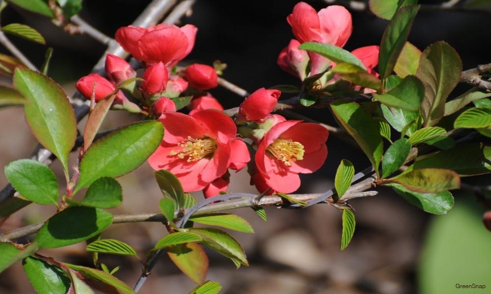 ボケ 赤 花