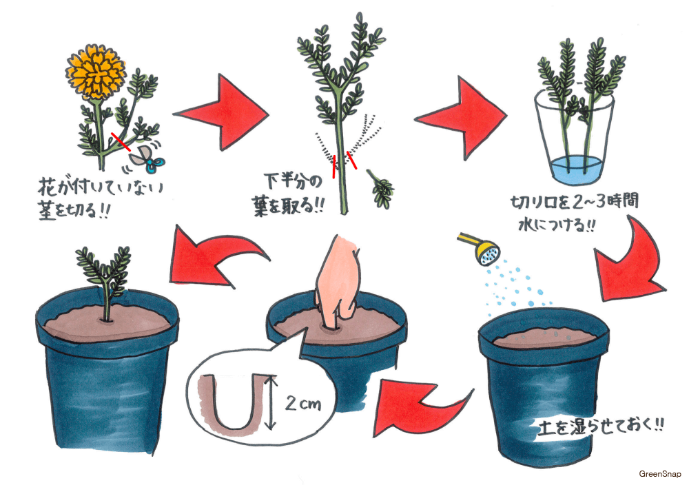 マリーゴールド 苗 挿し木