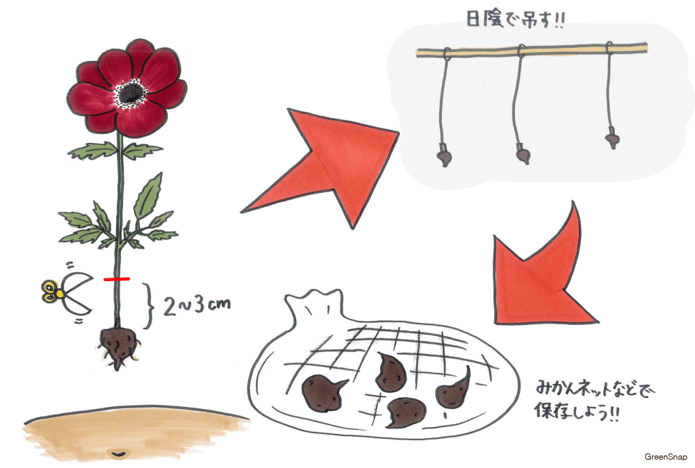 アネモネ 花 球根 掘り上げ