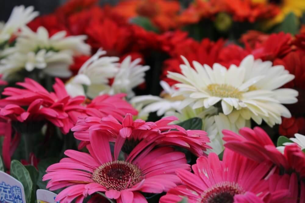 ガーベラ 花 ピンク 赤 白
