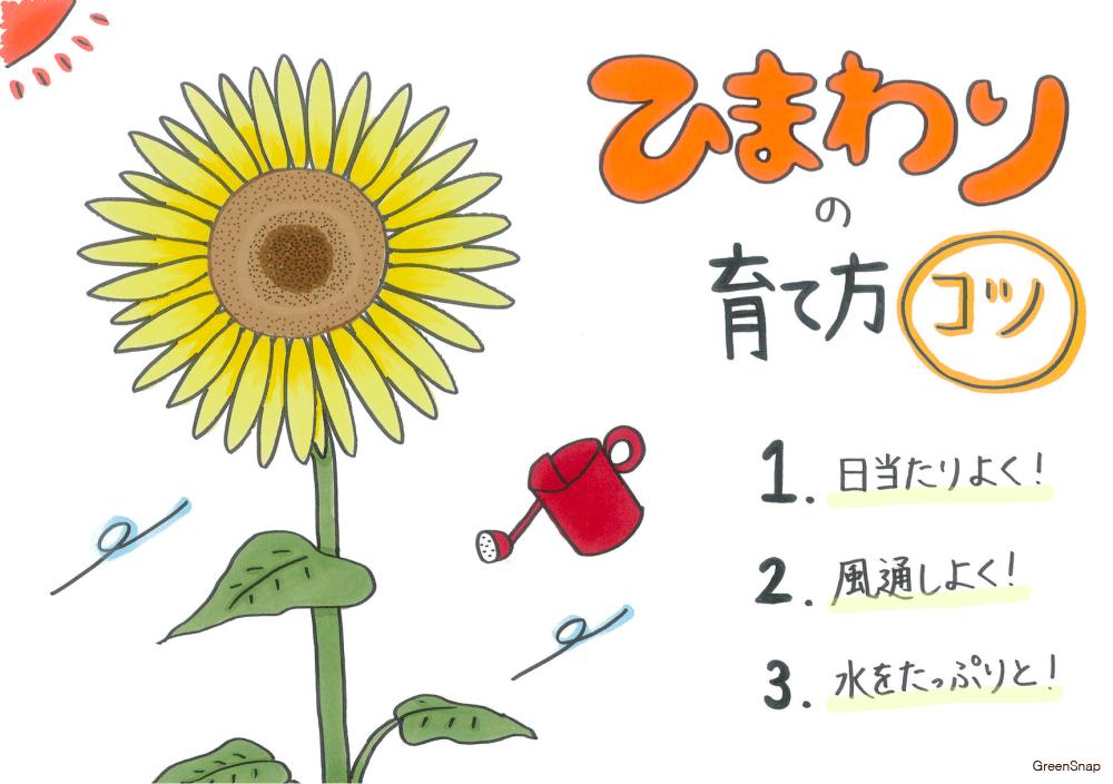 ヒマワリ 花 向日葵 ひまわり 育て方