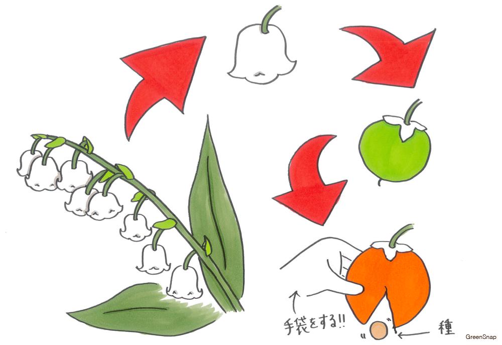 スズラン 実 種の取り方 花