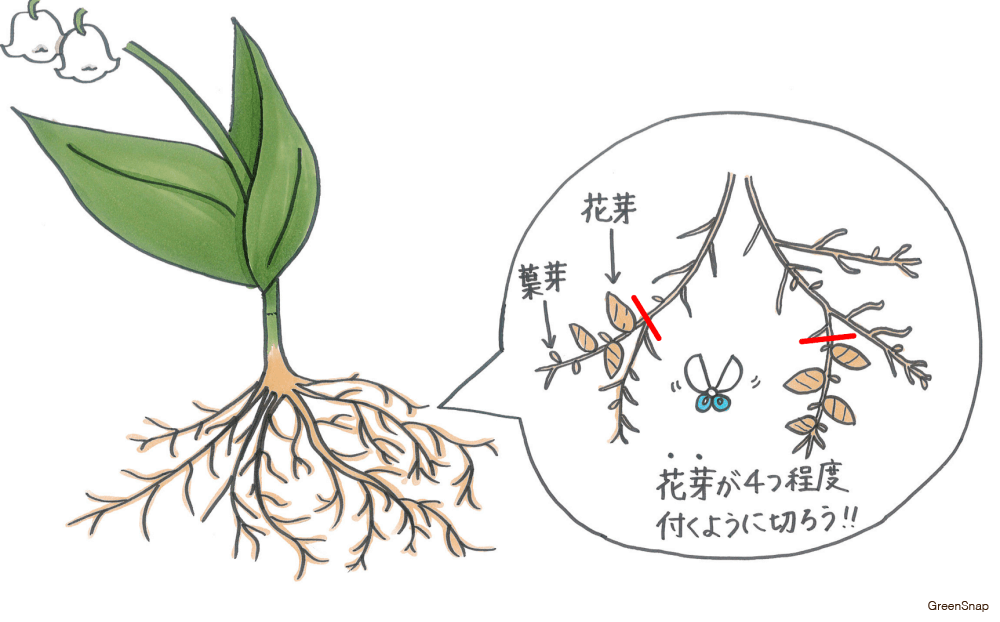 スズラン 株分け 根 花芽 葉芽