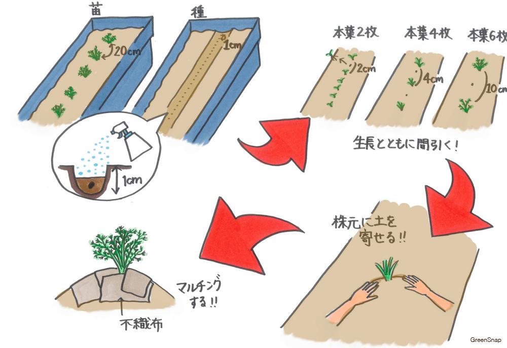 ニンジン にんじん 人参 種まき 苗植え 植え付け 育て方