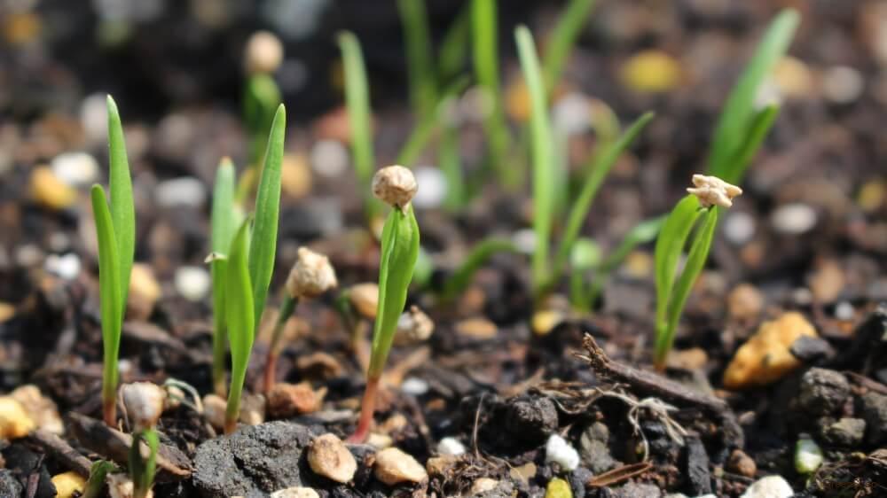 ホウレンソウ ほうれん草 芽 子葉 種まき