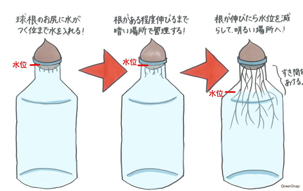 ムスカリの水耕栽培 方法