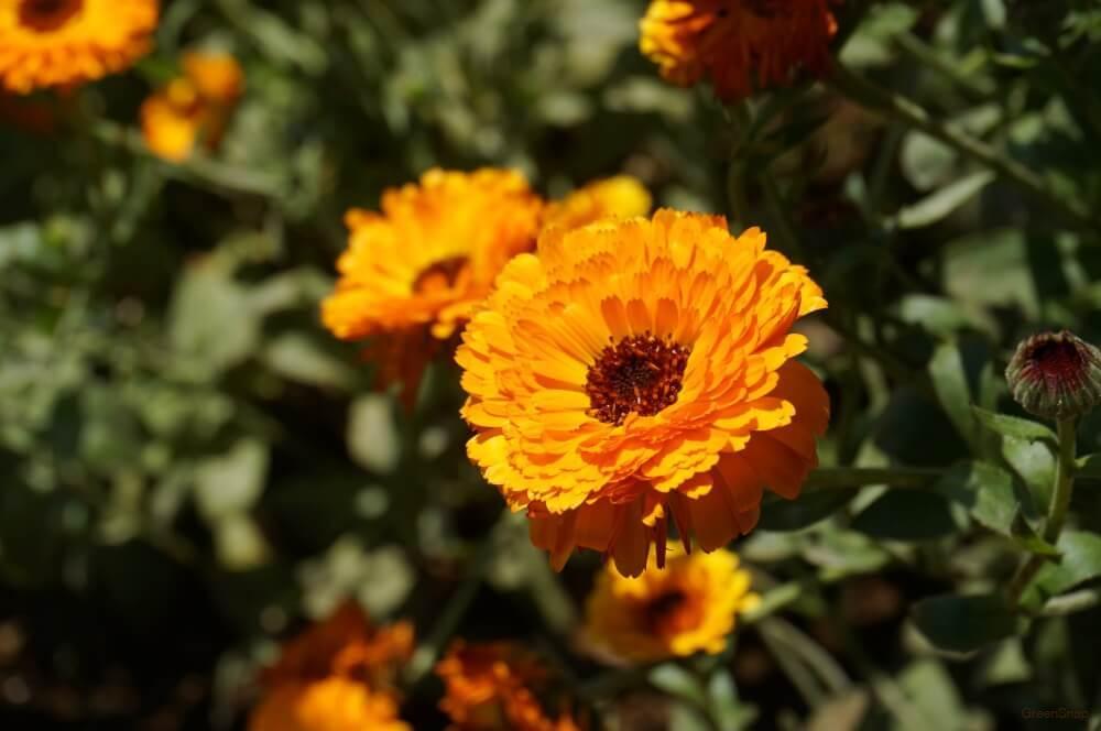 オレンジ色のキンセンカ(カレンデュラ・金盞花)の花