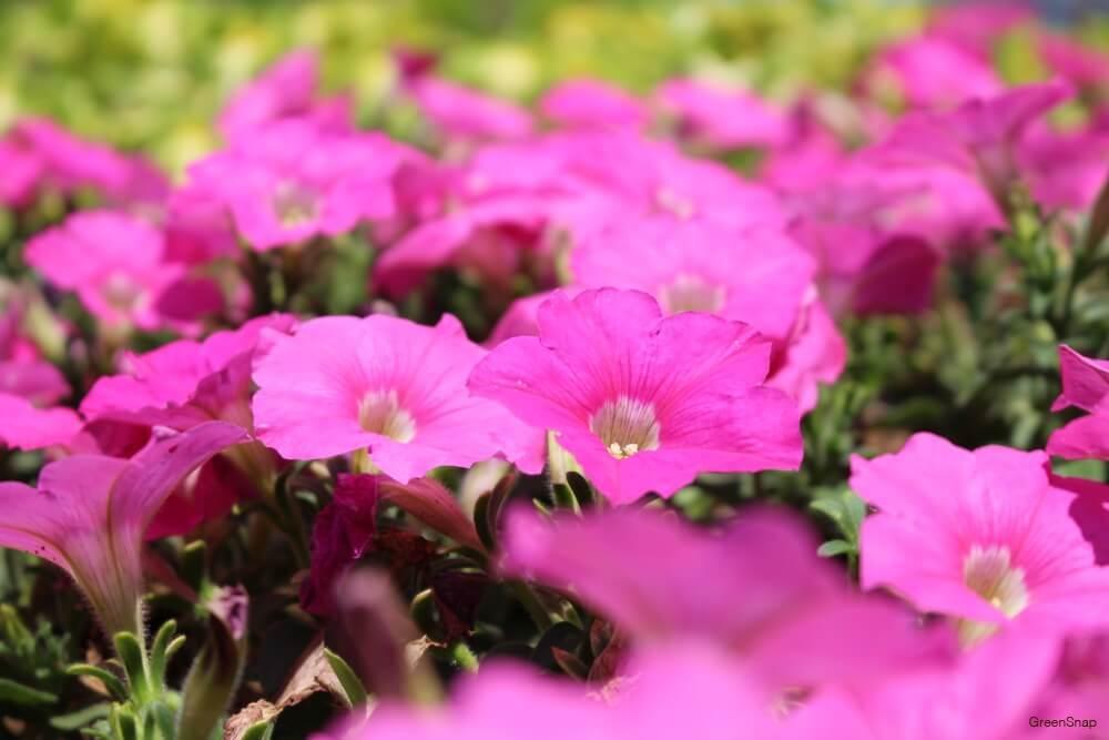 サフィニア 花 ピンク