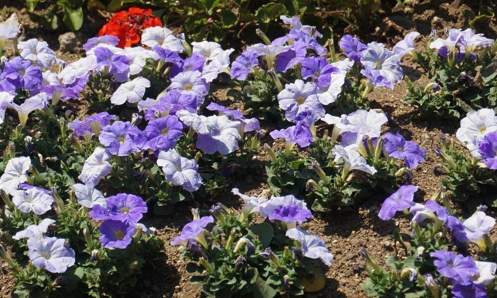 サフィニア 花 紫