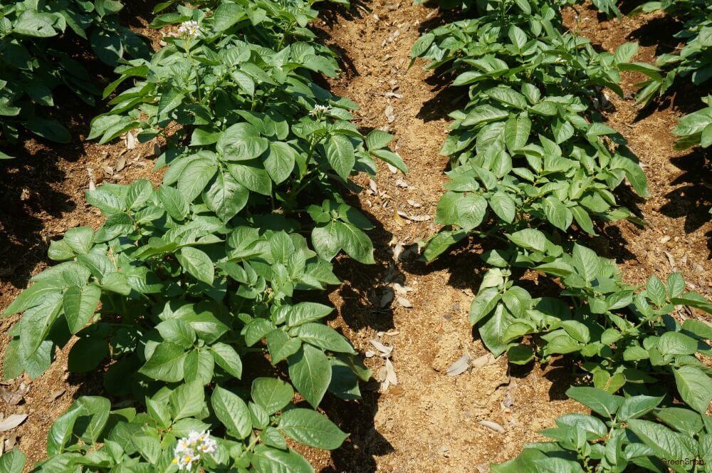 じゃがいもの花 ジャガイモ 地植え 植え付け