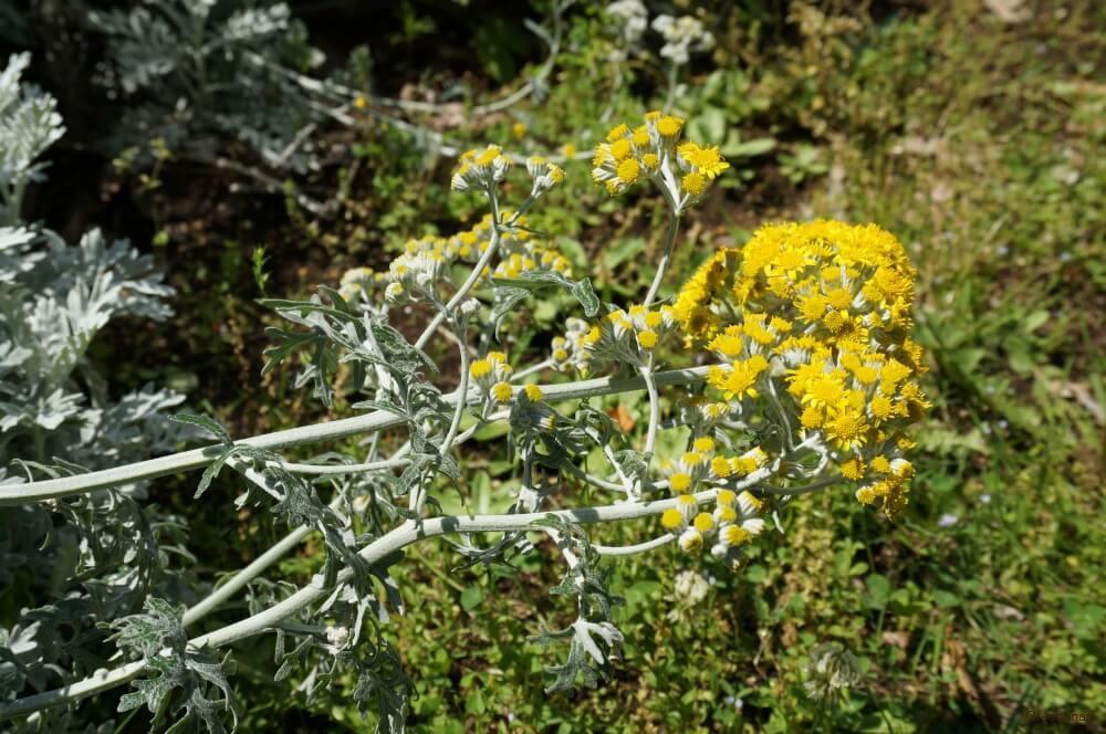 シロタエギク 花