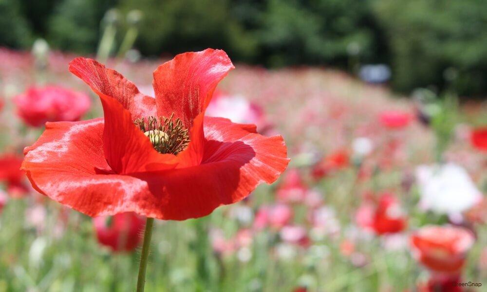 ポピー の花 赤