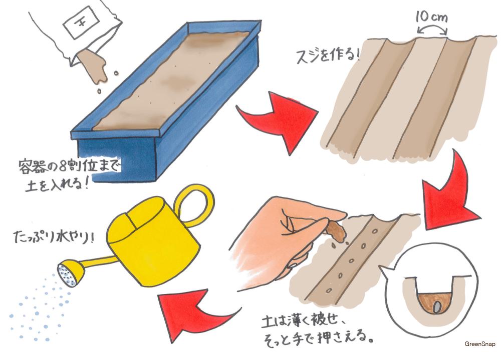 コマツナ 小松菜 栽培 プランター 種まき