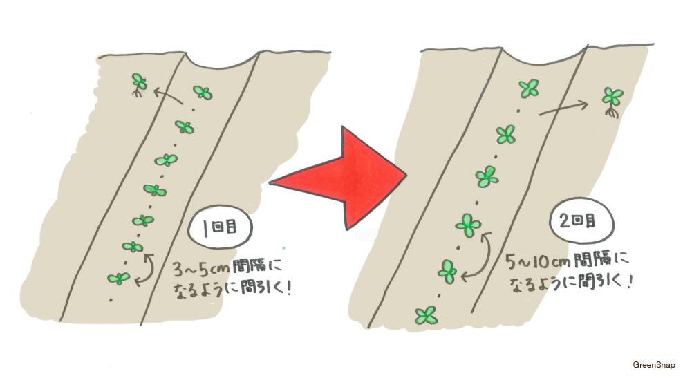 コマツナ 小松菜 栽培 間引き
