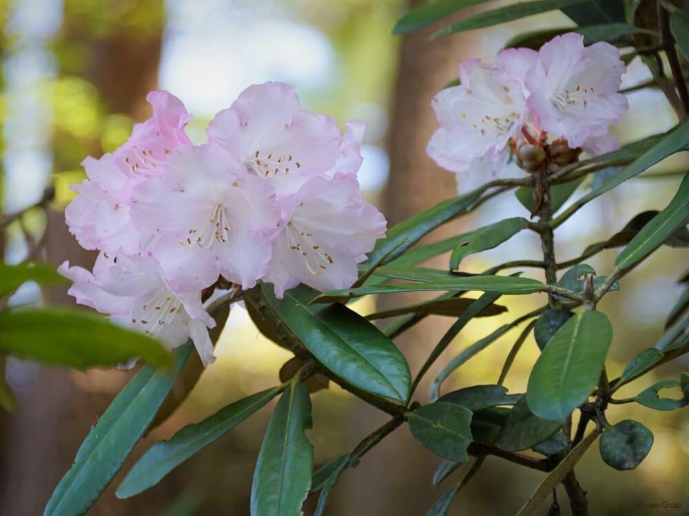 シャクナゲ 石楠花 花 ピンク