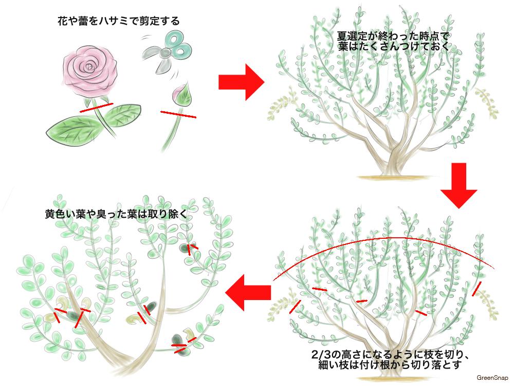 バラ 剪定 夏剪定 方法