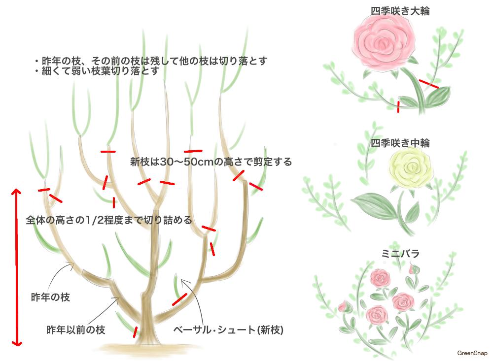 バラ 剪定 冬剪定 方法