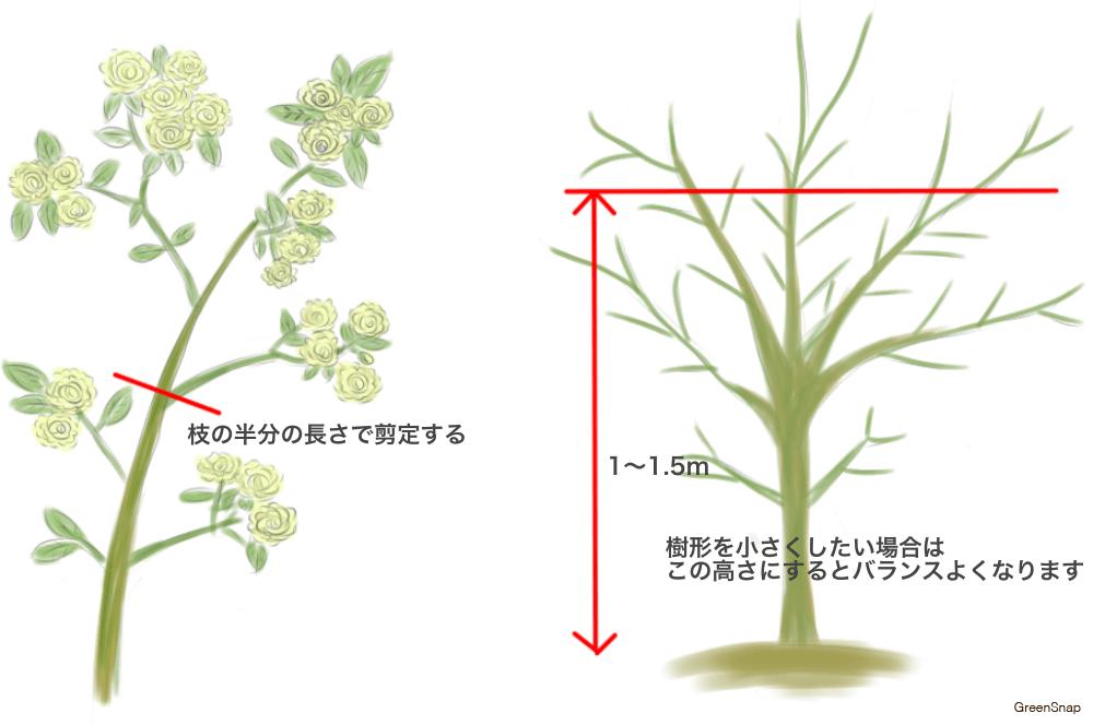 モッコウバラ(木香薔薇) 剪定 方法 春
