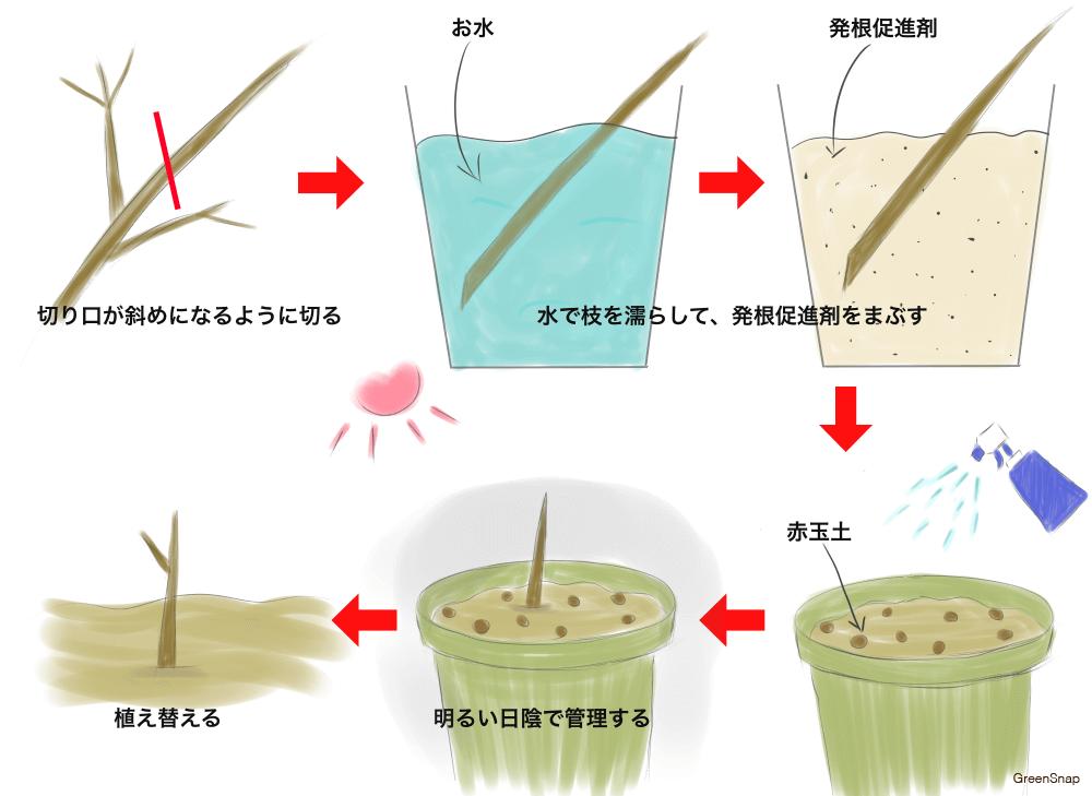 モッコウバラ(木香薔薇) 挿し木 方法