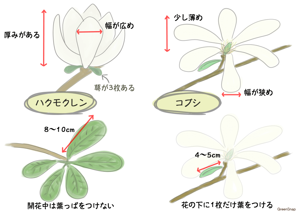ハクモクレン(白木蓮)とコブシの違い 見分け方