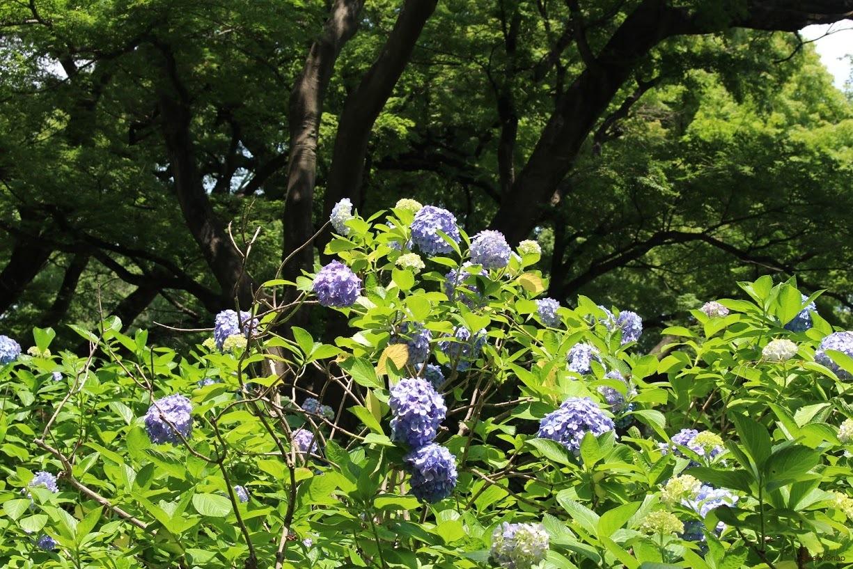 アジサイ 紫陽花 紫