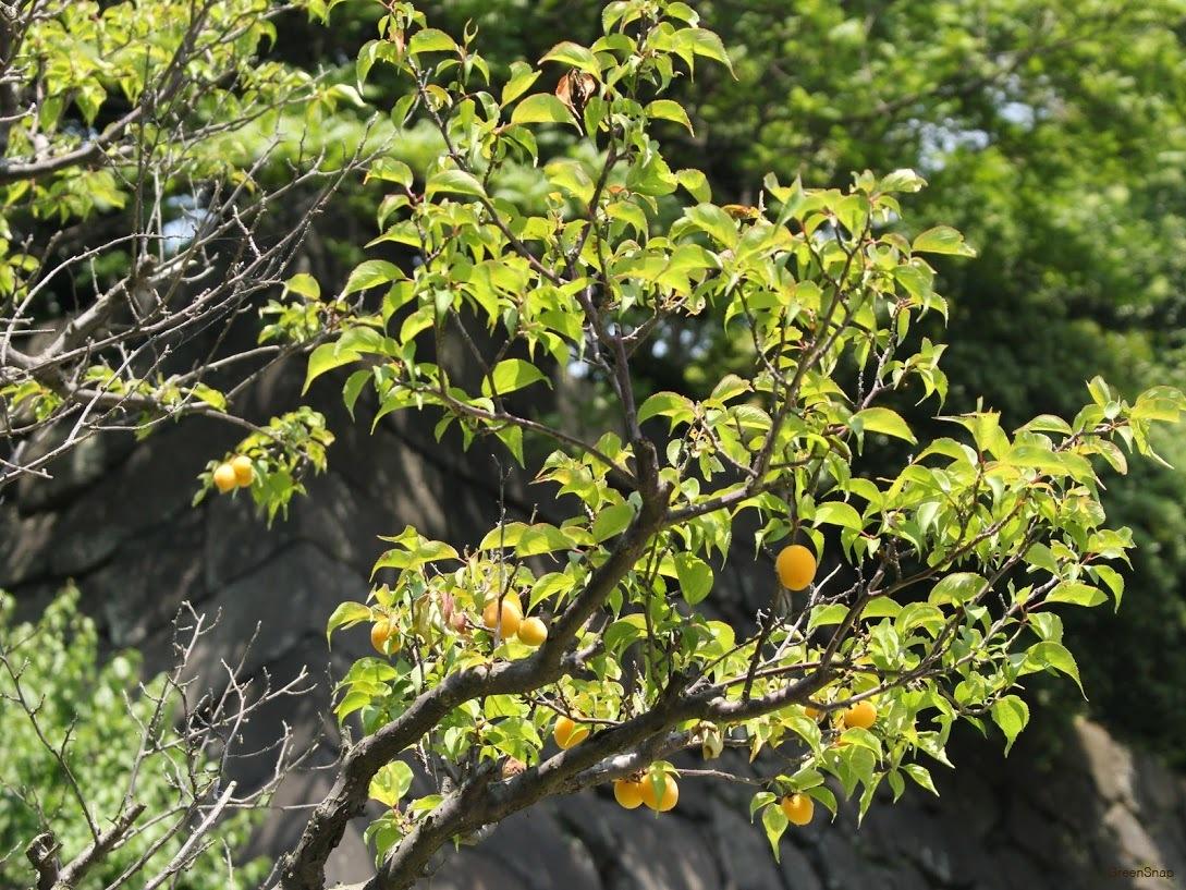 ウメ うめ 梅 実 ウメの実 梅の実