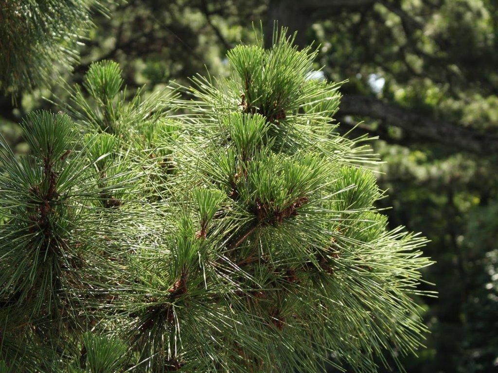 マツ 松の木