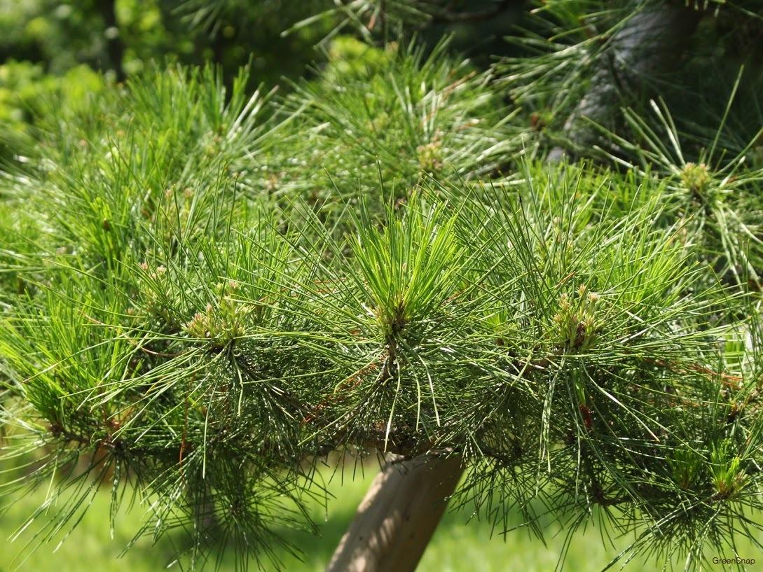 マツ 松 緑芽 マツの緑芽