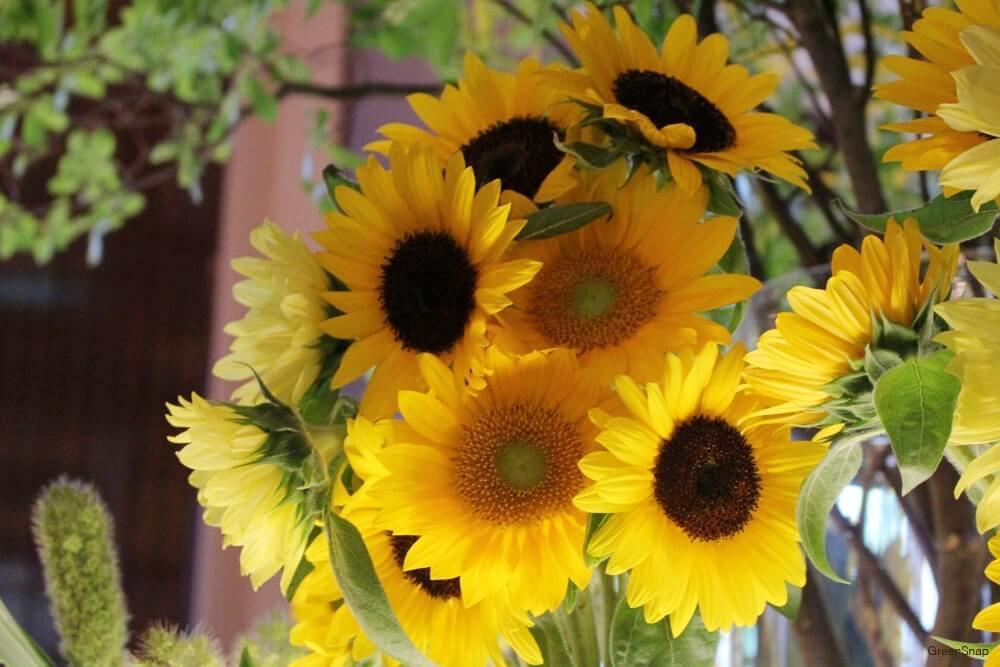 ヒマワリ ひまわり 向日葵 花
