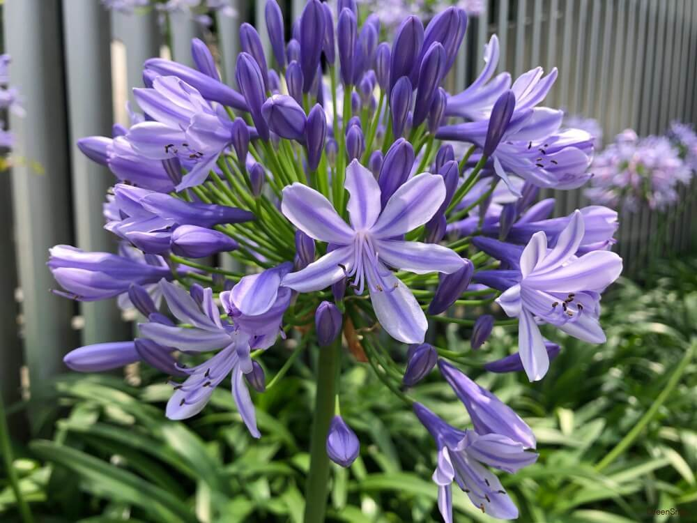 アガパンサス 紫君子蘭 花