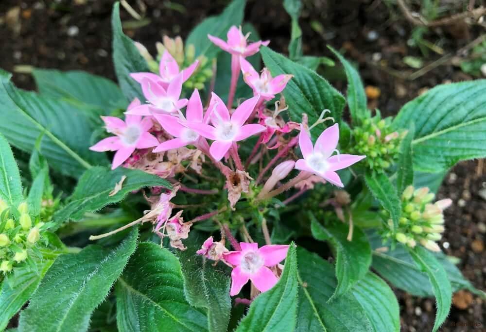 ペンタス 花 ピンク 白