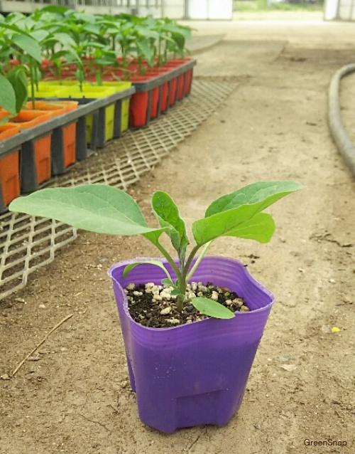 ナス(茄子) 苗 芽 苗植え
