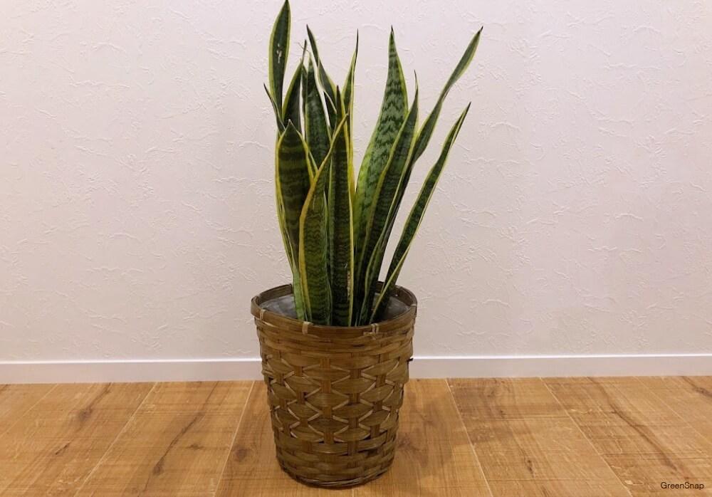 サンスベリア トラノオ 観葉植物 鉢植え インテリア