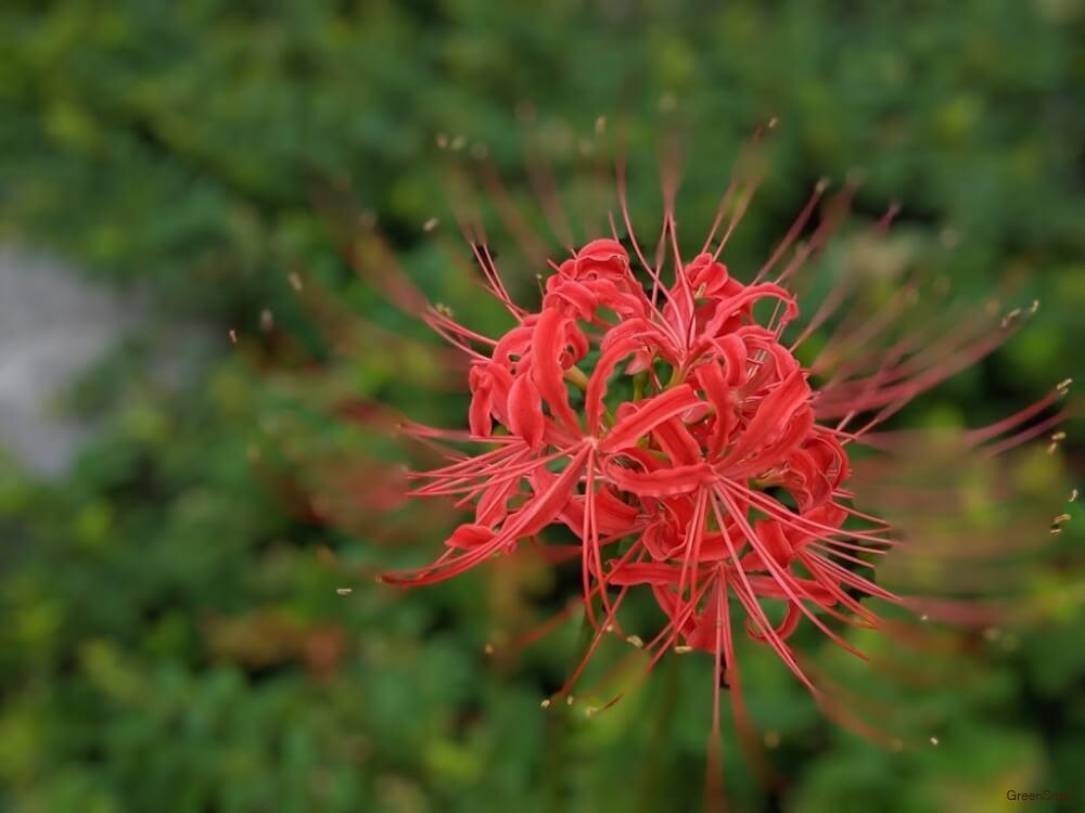 彼岸花 ヒガンバナ 花