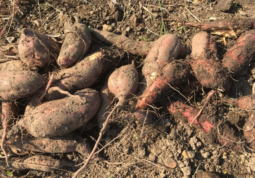 さつまいも サツマイモ 収穫