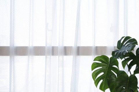 モンステラ 観葉植物 窓際 カーテン越し