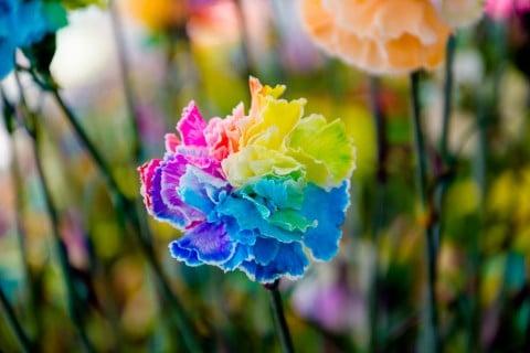 レインボーカーネーション 虹色