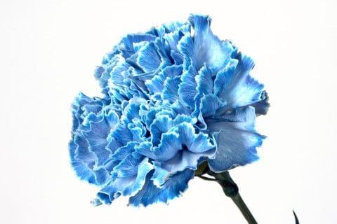 カーネーション 青色